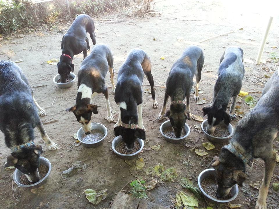 gossos menjant en grup