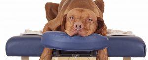 dog quiropractic estirado en camilla